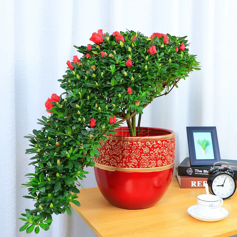 上海办公室绿植租赁讲述蝴蝶兰的日常养护细节?