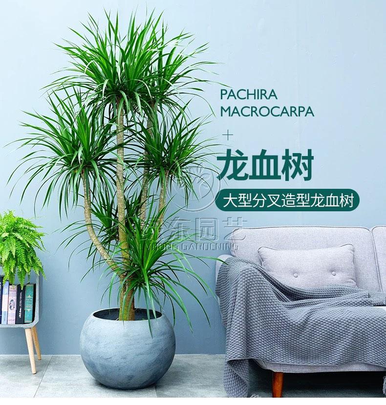 上海办公室绿化养护讲述盆栽茶花开花后的管理与养护