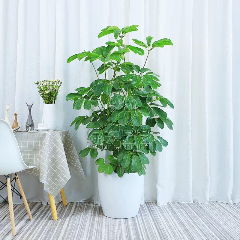 上海办公室绿植租赁----绿萝的养殖方法和注意事项